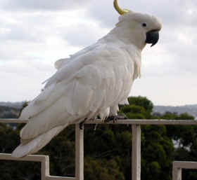COCKATOO ON OUR BALCONY