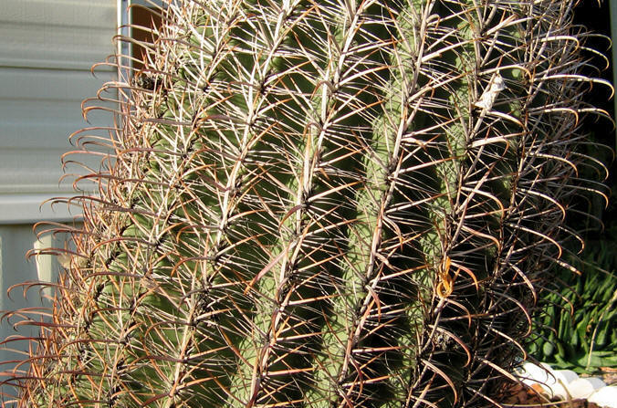 the spines of this barrel cactus curve like a fish hook.