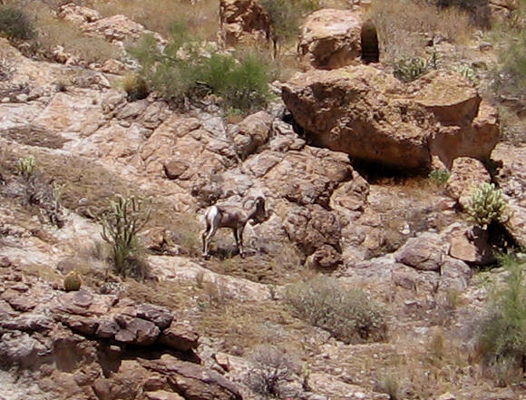 Bighorn sheep standing on the rocks, Canyon Lake, AZ