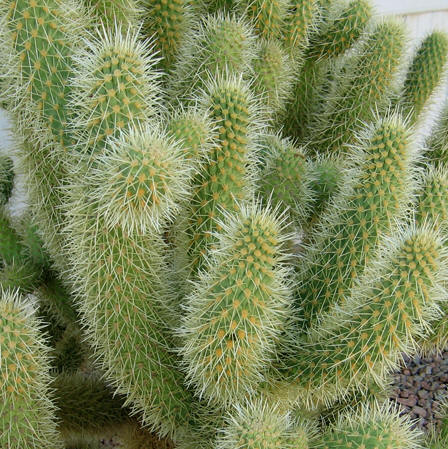 Closer look at the Jumping Cholla Cactus