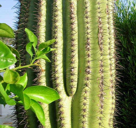 Up close view of needle-like spines of the Saguaro cactus, Arizona