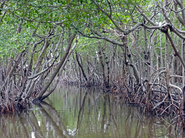 "Mangrove trees are sometimes called ""Walking Trees"" because of their roots"