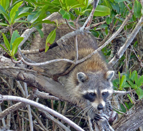 Everglades raccoon