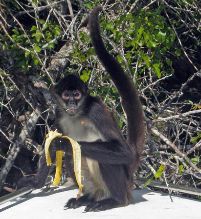 A Spider Monkey on the bow of our boat, New River, Belize