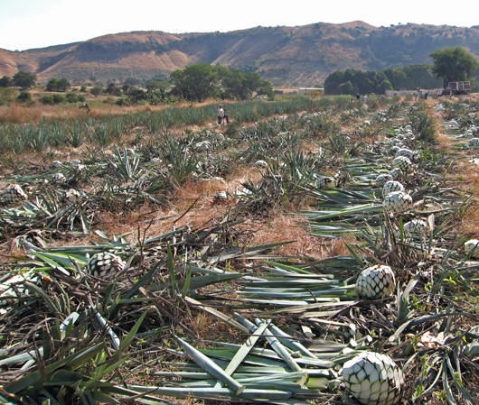 Blue Agave pinas being harvested in the fields