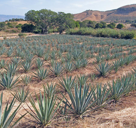 Blue Agave fields