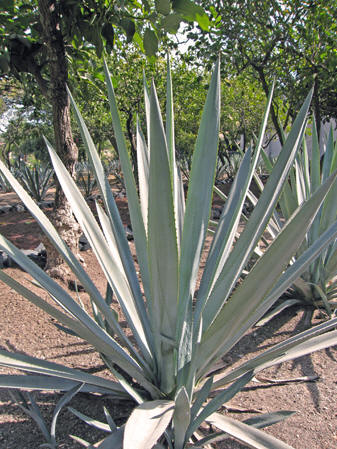 Blue Agave shoots