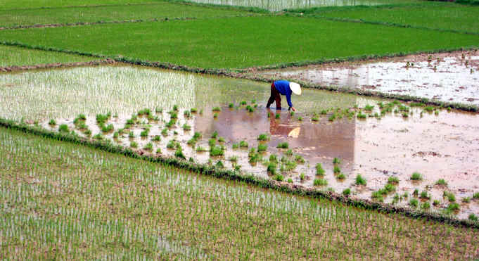 PLANTING THE NEXT CROP OF RICE
